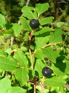 black mountain huckleberry - Photo by Jason Hollinger