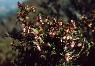 Evergreen huckleberry - Photo by Franz Xaver