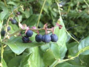 Salal berries by Darren Giles